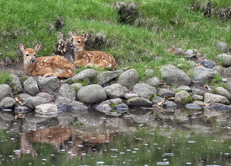 Faons de cerfs de Virginie photos stock