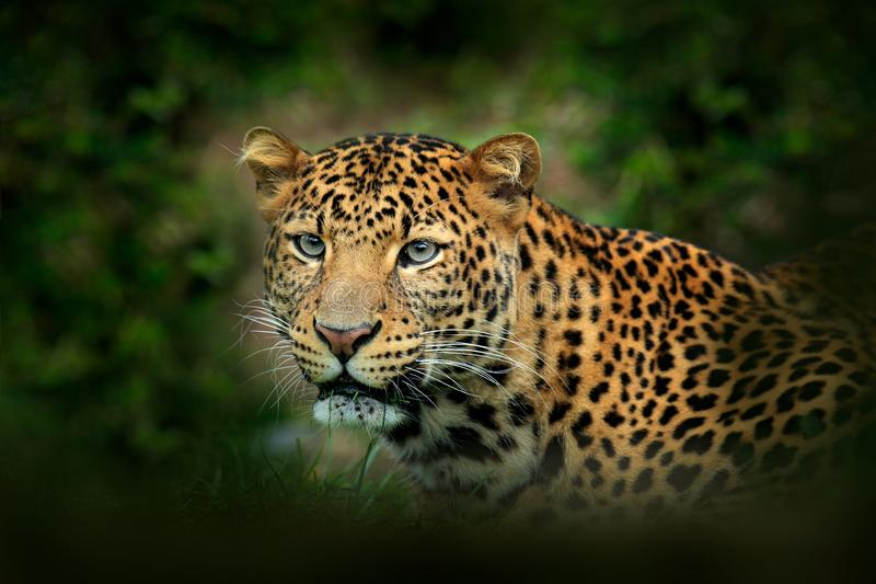 Far Eastern Amur leopard, Panthera pardus orientalis, detail portrait of wild cat in the nature green forest habitat. Leopard. Spotted cat from China, Asia royalty free stock image