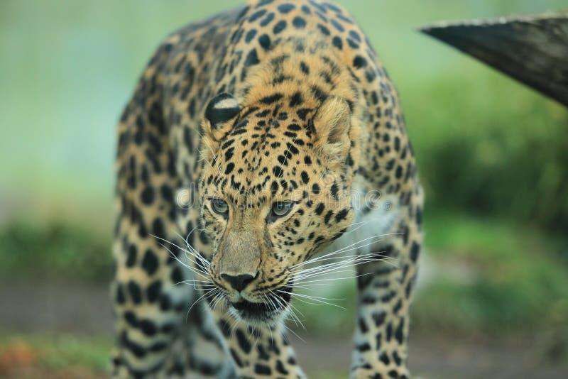 Far eastern leopard royalty free stock image