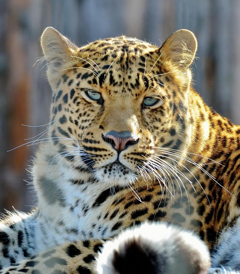 Far Eastern leopard, or Amur leopard lat. Panthera pardus orientalis is resting. Closeup, portrait. Currently, the Far Eastern l royalty free stock image