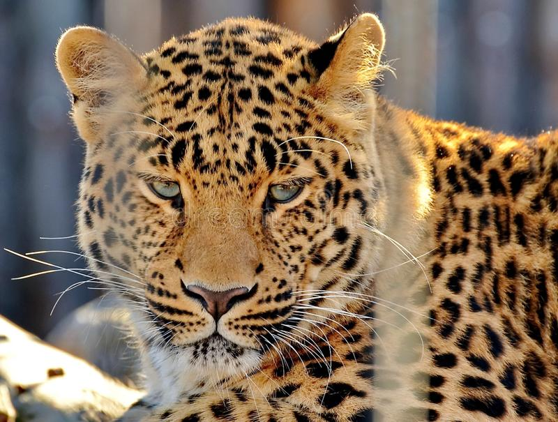 Far Eastern leopard, or Amur leopard lat. Panthera pardus orientalis. Closeup, portrait. Currently, the Far Eastern leopard royalty free stock image