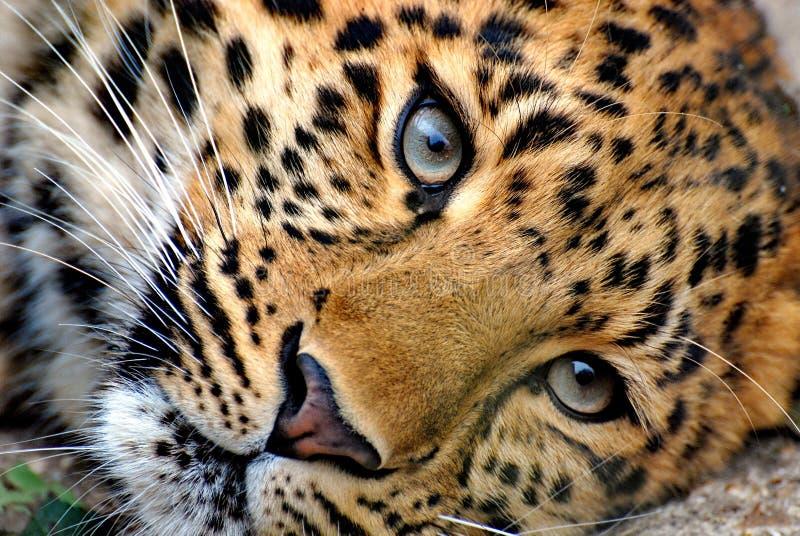 Far Eastern leopard, or Amur leopard lat. Panthera pardus orientalis is resting. Closeup, portrait. Currently, the Far Eastern l stock photo