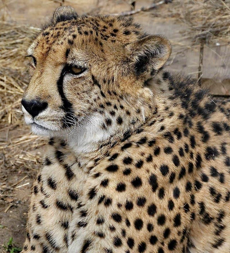 Far Eastern leopard, or Amur leopard lat. Panthera pardus orientalis is resting. Closeup, portrait. Currently, the Far Eastern l stock photos