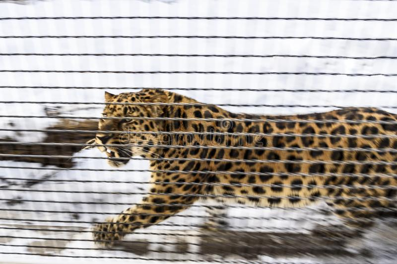 Far Eastern leopard in a rage ready to attack. Zoo. Moscow, Russia. stock photos