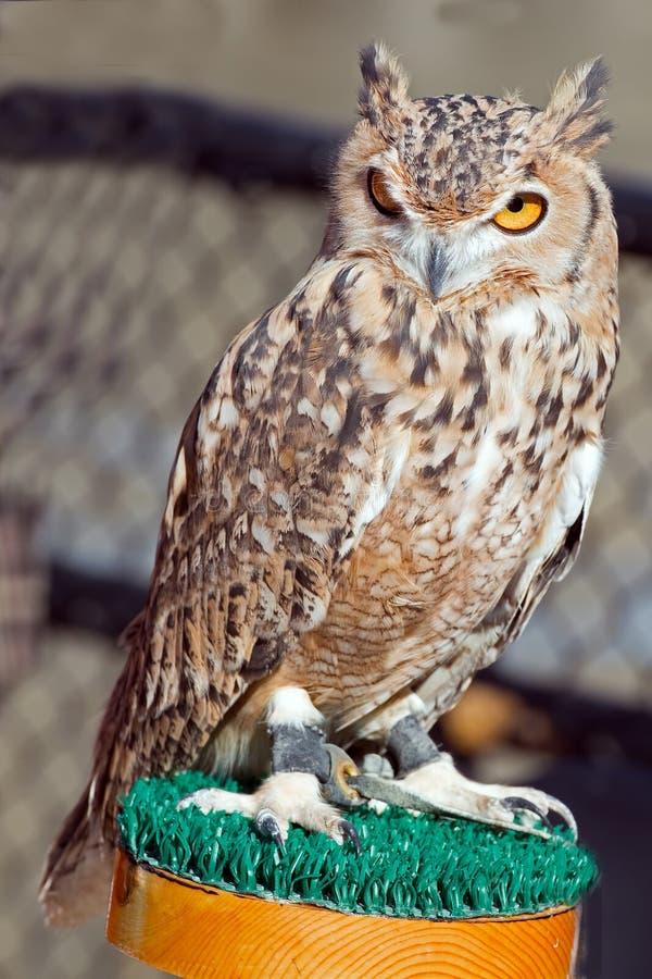 Faraó Eagle Owl imagem de stock royalty free