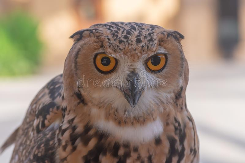 Faraó Eagle Owl perto acima foto de stock