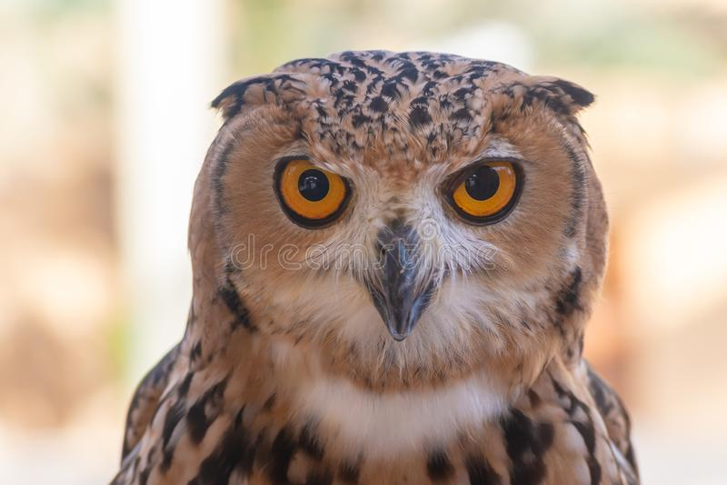 Faraó Eagle Owl perto acima fotos de stock royalty free