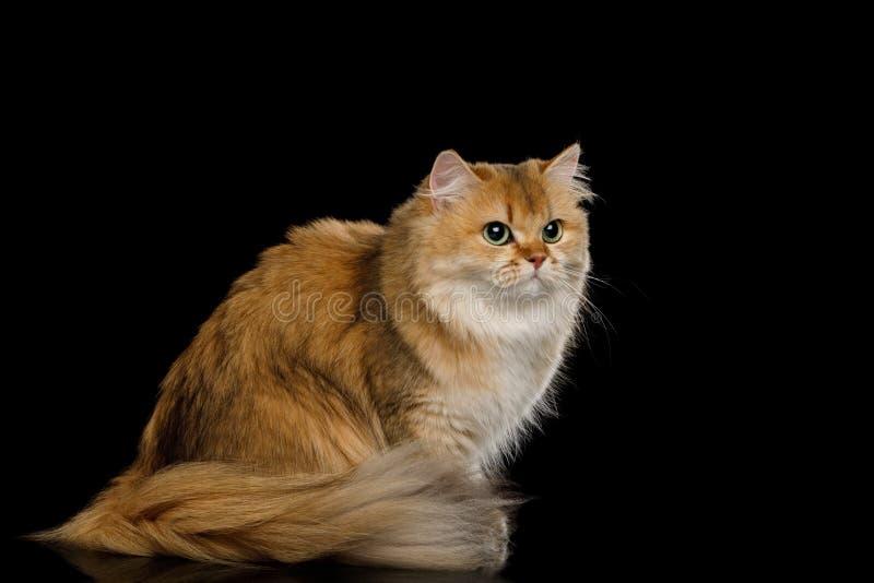 Farbe Briten Cat Red mit dem Pelzhaar auf lokalisiertem schwarzem Hintergrund stockfotografie