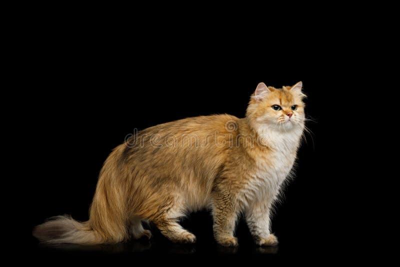 Farbe Briten Cat Red mit dem Pelzhaar auf lokalisiertem schwarzem Hintergrund stockbilder