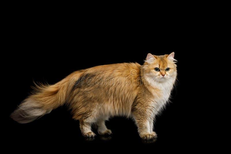 Farbe Briten Cat Red mit dem Pelzhaar auf lokalisiertem schwarzem Hintergrund lizenzfreie stockfotos