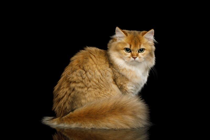 Farbe Briten Cat Red mit dem Pelzhaar auf lokalisiertem schwarzem Hintergrund lizenzfreies stockbild