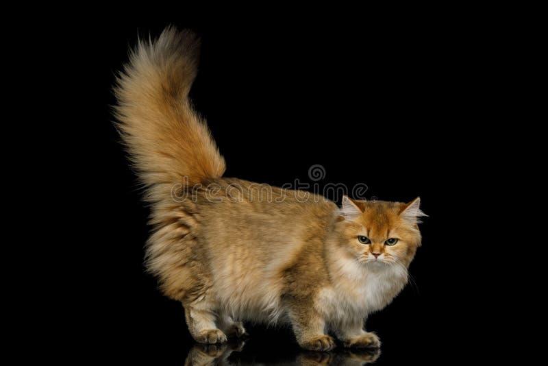 Farbe Briten Cat Red mit dem Pelzhaar auf lokalisiertem schwarzem Hintergrund stockfoto