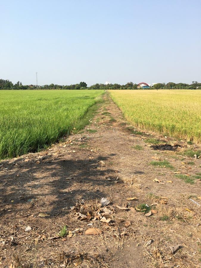 Farbe des Reisfeldes zwei lizenzfreie stockfotografie