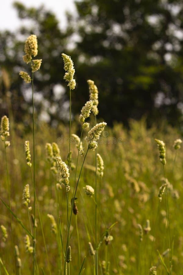 Farben eines Weizenfeldes stockbild