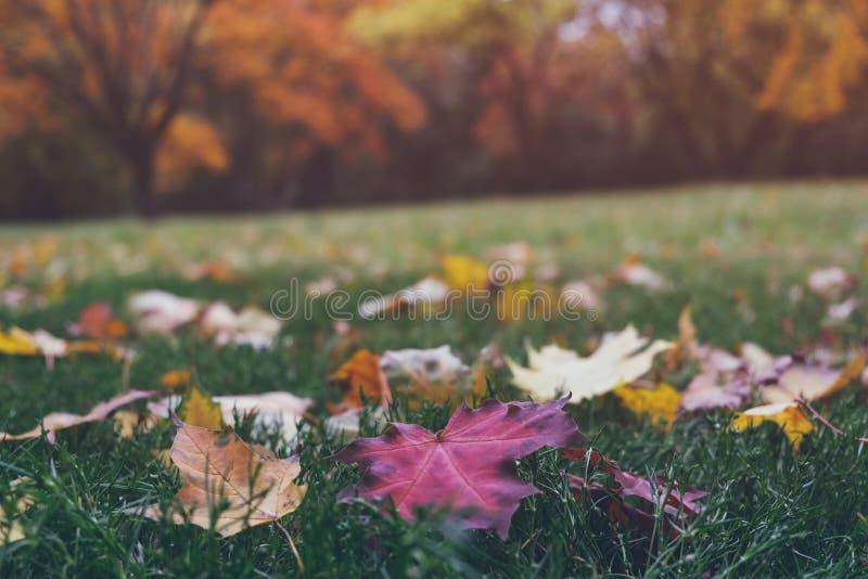 Farbenfrohe, gefallene Ahornblätter auf grünem Gras im schönen Herbstpark Bäume mit hellgelbem und orangefarbenem Blattwerk im Hi lizenzfreie stockfotografie