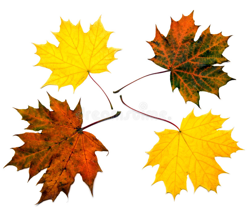 Farbige Ahornblätter stockbilder