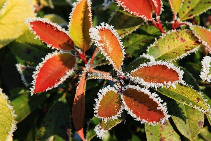 Farbige Blätter mit Frost im Winter lizenzfreie stockbilder