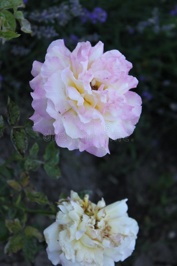farbige Blume stockbild