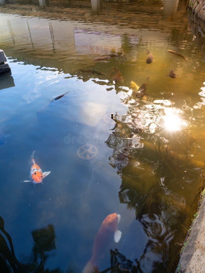 Farbige carpes in Nara Japan Goup von koi Fischen im Wasserpool in Nara Japan stockbild