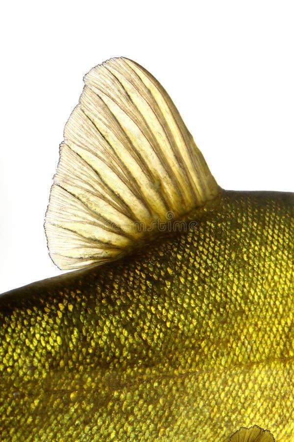 Farbige Flossenfische Unterwasser, Karpfen, Schleie stockfoto