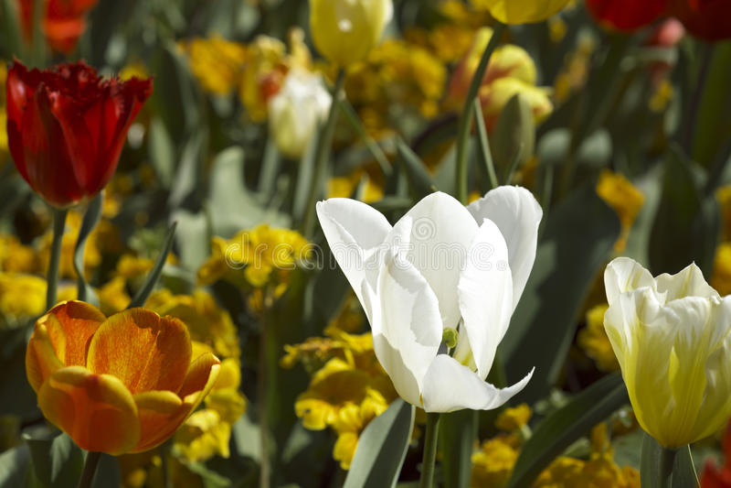Farbige Tulpen lizenzfreie stockfotos