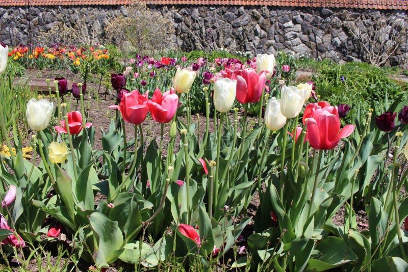 Farbige Tulpen auf einem Feld in einem Garten stockfotografie