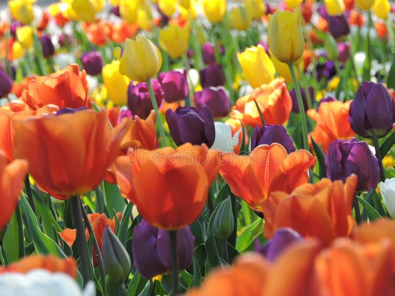 Farbige Tulpen, die im Frühjahr in einem deutschen Stadtpark blühen lizenzfreie stockfotos