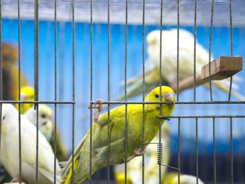Farbige Wellensittiche der Nahaufnahme Grün, die im Käfig stehen stockfoto