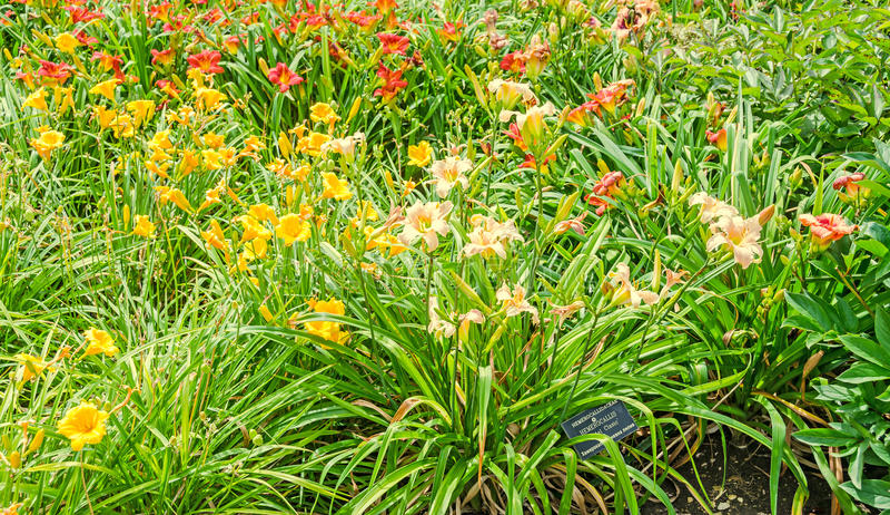 Farbiger Daylily blüht, die Klasse Hemerocallis, Grünblätter stockfotos