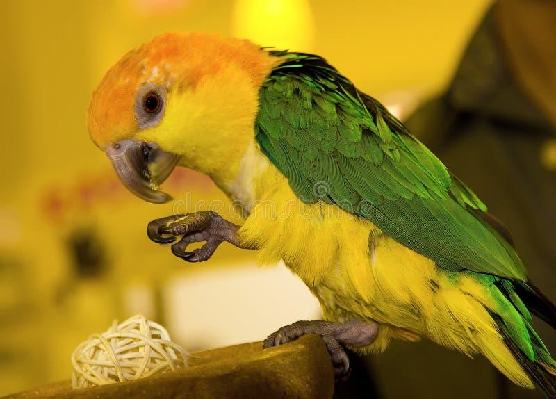 Farbiger Papagei stockfotos