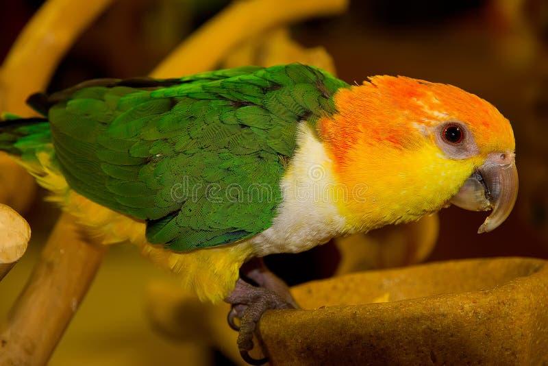Farbiger Papagei stockbilder