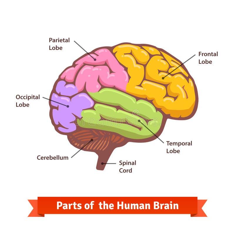 Farbiges und beschriftetes Diagramm des menschlichen Gehirns lizenzfreie abbildung