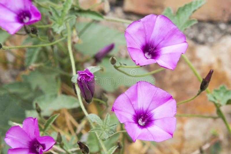 Farbitis delicadamente cor-de-rosa do Ipomoea das flores com folhas verdes na perspectiva de uma parede velha do farbitis do cast fotografia de stock royalty free