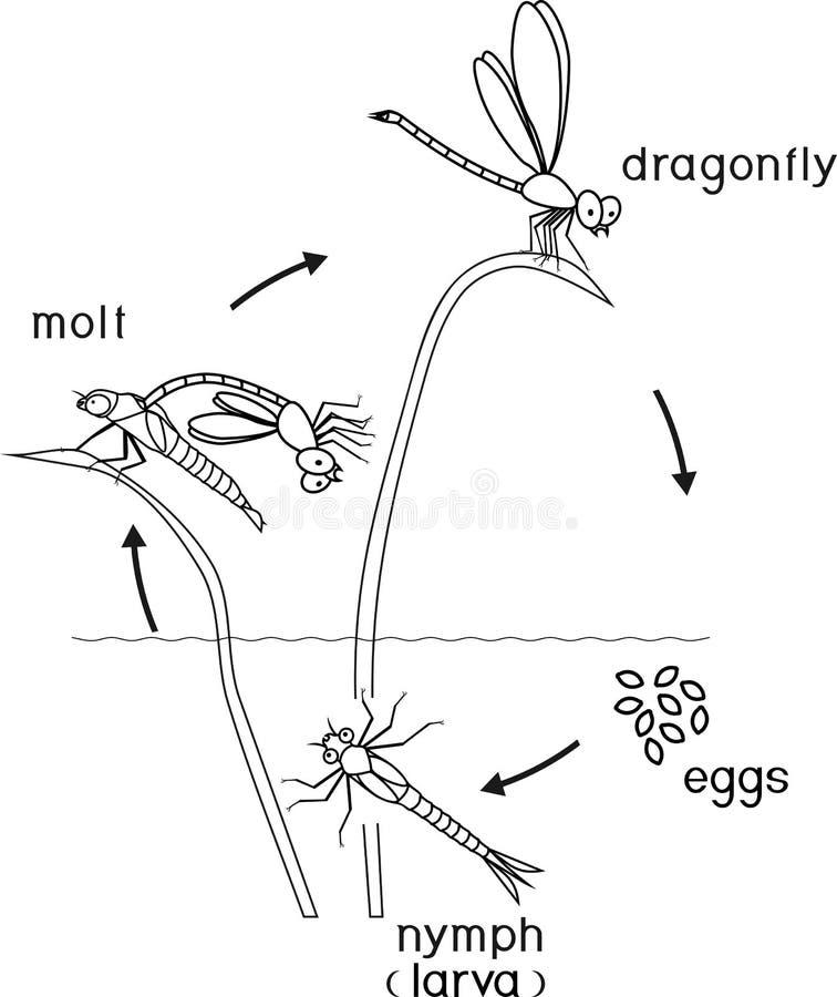 Farbtonseite Lebenszyklus der Libelle lizenzfreie abbildung