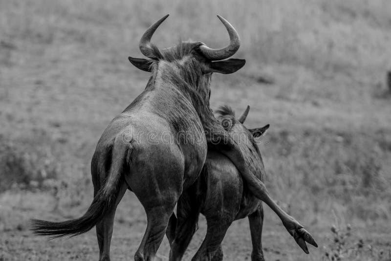 Fare sesso e divertimento di Wildbeast in Kruger fotografie stock