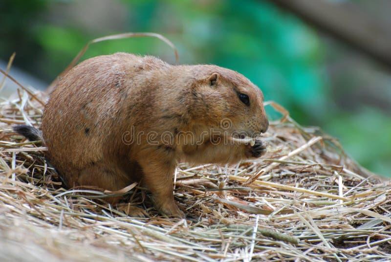 Fare un spuntino marmotta che si siede su un mazzo di fieno fotografia stock