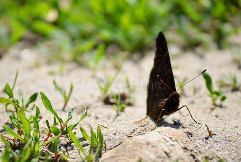 Download Farfalla fotografia stock. Immagine di verde, nero, sabbioso - 55355168