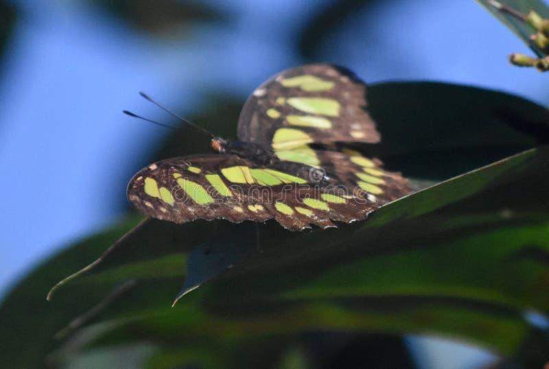 Farfalla abbastanza verde della malachite sistemata nel nero immagine stock