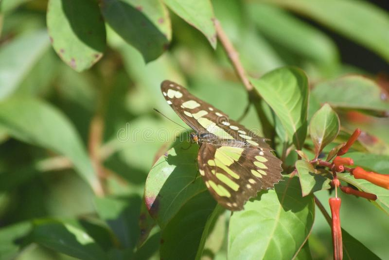 Farfalla adorabile della malachite con le ali verdi e nere fotografia stock libera da diritti