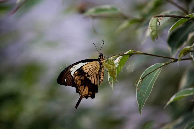 Farfalla africana di coda di rondine immagine stock