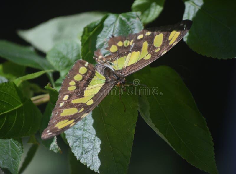 Farfalla alata nera e verde della malachite su una foglia immagini stock libere da diritti