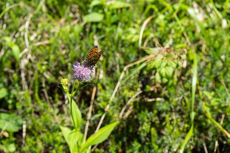 Farfalla arancio che si siede sul fiore porpora fotografia stock