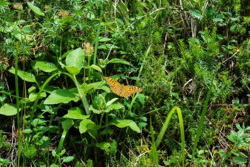 Farfalla arancio con i punti neri su erba immagini stock