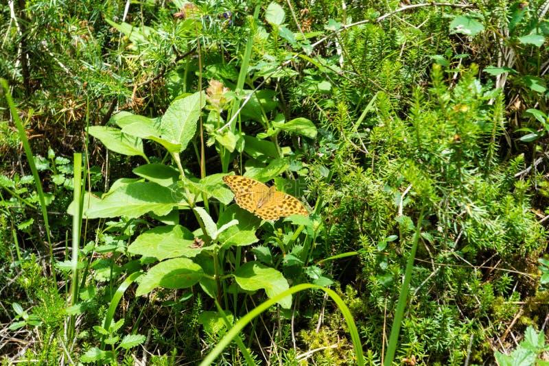 Farfalla arancio con i punti neri su erba fotografia stock libera da diritti
