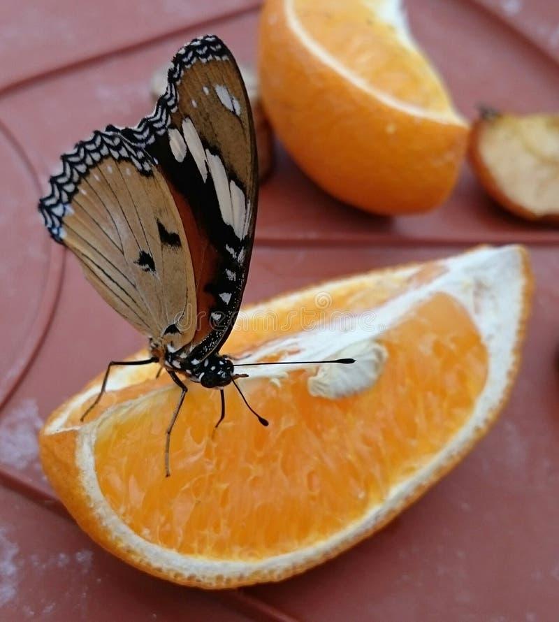 Farfalla arancio dell'arancia della frutta fotografie stock libere da diritti