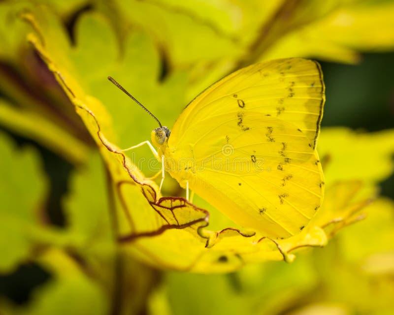 Farfalla arancio dell'emigrante fotografia stock
