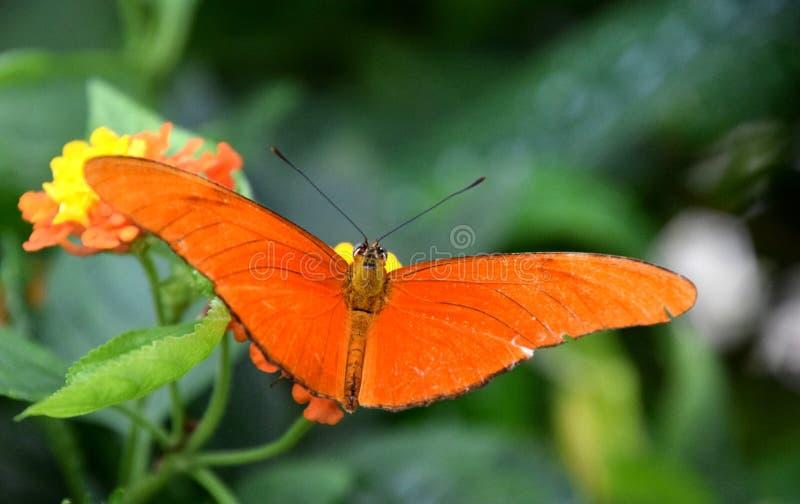 Farfalla arancio di Julia Heliconian sul fiore di lantana camara, iulia del Dryas fotografie stock
