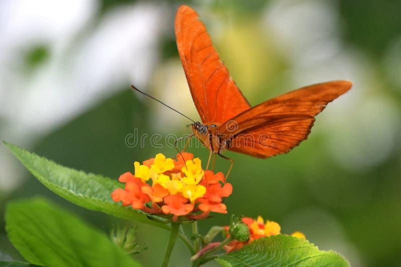 Farfalla arancio di Julia Heliconian sul fiore di lantana camara, iulia del Dryas immagini stock