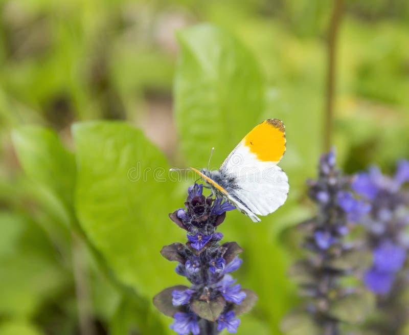Farfalla arancio di punta immagini stock