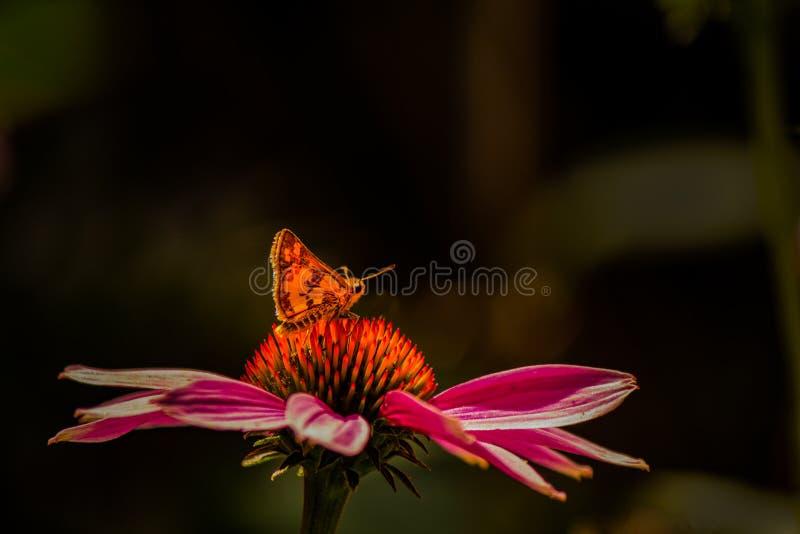 Farfalla arancio luminosa su Coneflower arancio e rosa fotografie stock